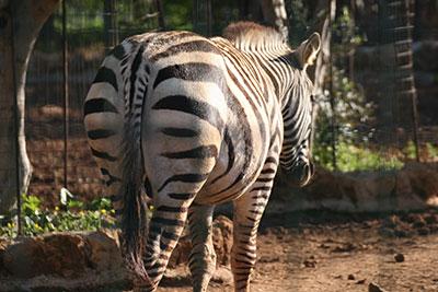 Bioparco di Sicilia - Zebra di Grant