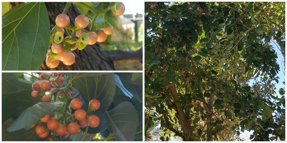 Bioparco di Sicilia - Cordia myxa