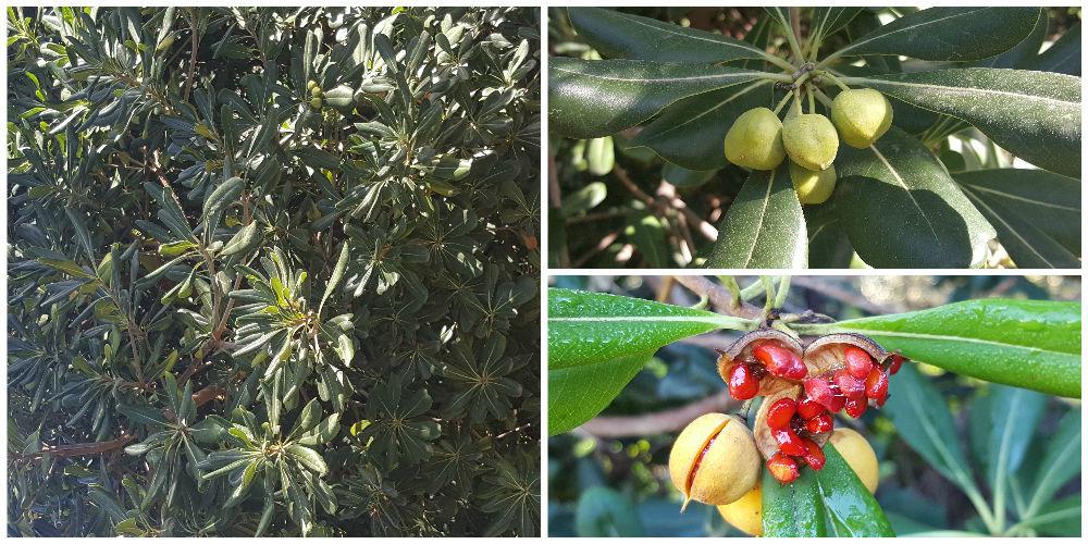 Bioparco di Sicilia - Pittosporum Tobira