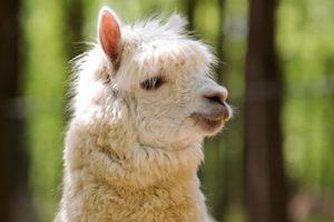 Bioparco di Sicilia - alpaca