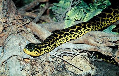 Bioparco di Sicilia - anaconda gialla