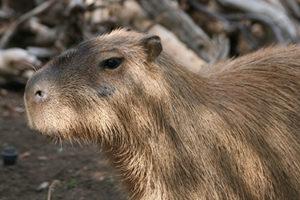 Bioparco di Sicilia - capibara