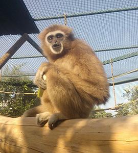 Bioparco di Sicilia - Gibbone mani bianche