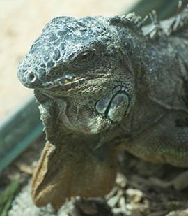 Bioparco di Sicilia - Iguana