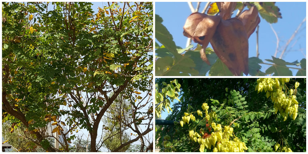 Bioparco di Sicilia - Koelreuteria Paniculata