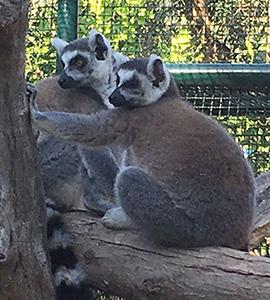 Bioparco di Sicilia - lemur-catta