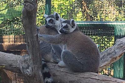 Bioparco di Sicilia - Lemure