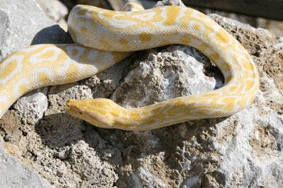 Bioparco di Sicilia - Pitone birmano albino