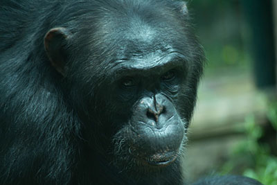 Bioparco di Sicilia - Scimpanzè