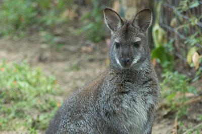 Bioparco di Sicilia - Wallaby