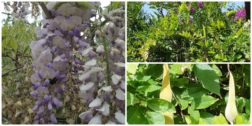 Bioparco di Sicilia - wisteria floribunda